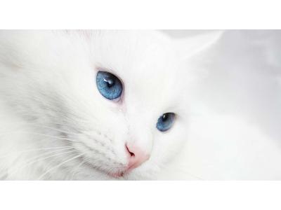 NHỮNG CĂN BỆNH DI TRUYỀN PHỔ BIẾN Ở MÈO
