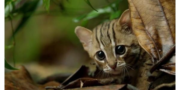 GIỐNG MÈO NHỎ NHẤT HÀNH TINH CHỈ NẶNG KHOẢNG 1,6KG - MÈO ĐỐM GỈ (RUSTY SPOTTED CAT)